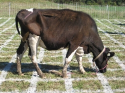 cow-raffle