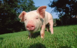 PETA-Wants-Violent-Greased-Pig-Contest-Canceled-Immediately-2